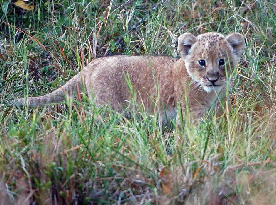 Governor's Camp: 2 week old lion cub