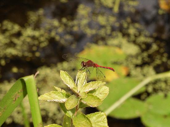 New England Wild Flower Society Garden in the Woods: A Native Inhabitant