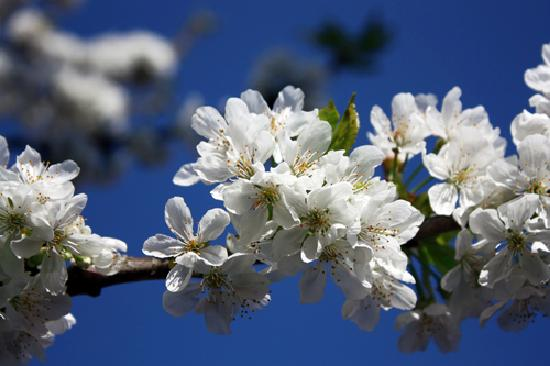 L'accroche Coeur - bed and breakfast : Our cherry tree - cherry blossom in spring