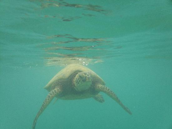 Marriott's Ko Olina Beach Club: one of the turtles I swam with in lagoon 2