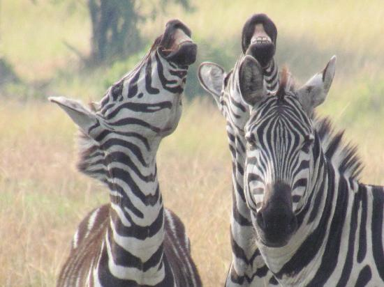 Serengeti Bushtops Camp: Zebras by camp