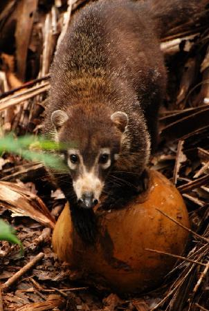 El Remanso Lodge: Coati