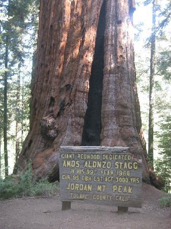 Amos Alonzo Stagg Tree Der Fünftgrößte Baum Der Welt Bild Von