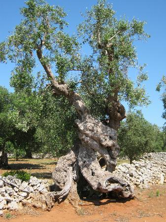 Tenuta Litta: eeuwenoude olijfbomen