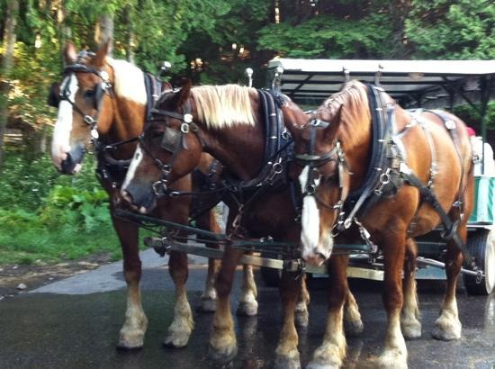 Country Inn & Suites by Radisson, Saginaw, MI: beautiful Belgian horses!!!