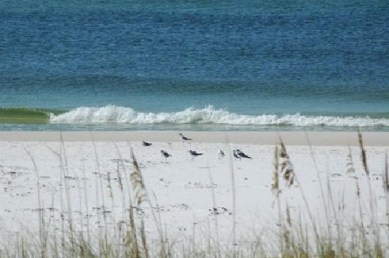 Destin, FL: Laughing Gulls on the Henderson SP beach in the morning