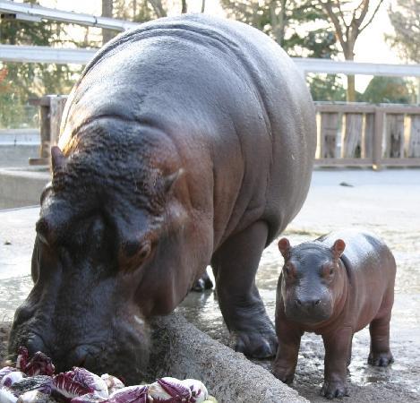 Parco Zoo Punta Verde : ippopot'amo