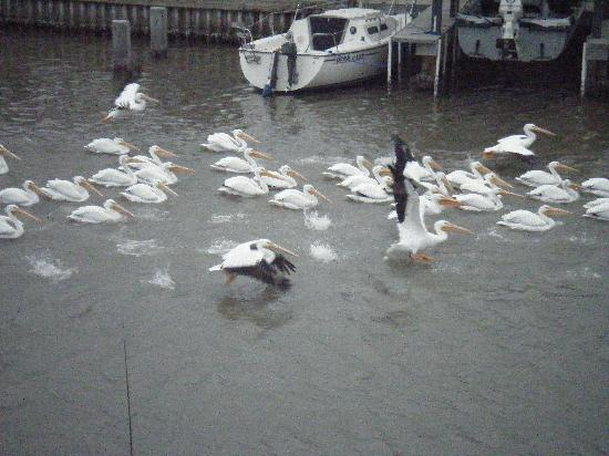 WindWater Hotel: pelicans from the deck