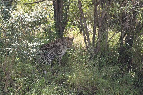 Mara West Camp: Leopard in Masai Mara