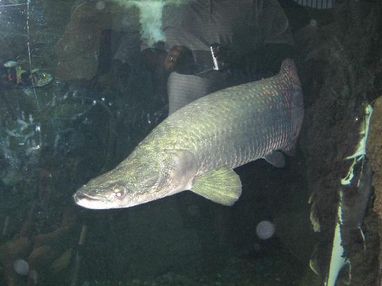 Shark lagoon sawfish picture of ripley 39 s aquarium of the for Amazon aquarium fish