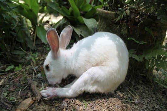 Pahang, Malaysia: Rabbit