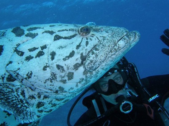 Abyss Scuba Diving: With a friendly potato cod on dive trip organised through Abyss