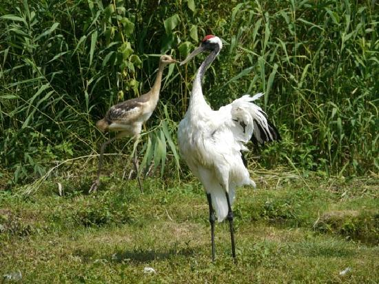 Kushiro City Red-crowned Crane Natural Park: 親子