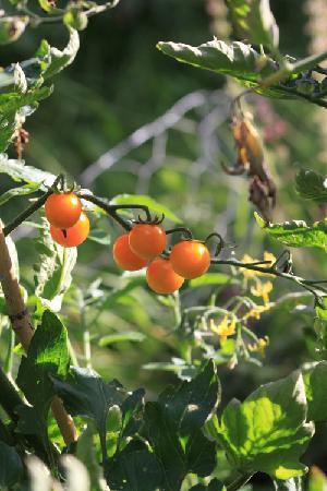 Southdown B&B / White Horse Walking Holidays: Lovely tomatos in their garden