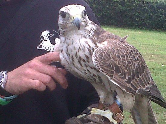 Fallowfields Falconry : The beautiful Harris Hawk