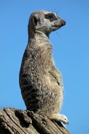 Cotswold Wildlife Park and Gardens : Meerkat keeping look out in the Walled Garden