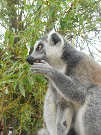Parc Animalier de Sainte-Croix : lémurien