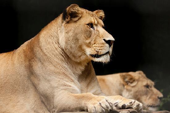 Port Lympne Reserve : Atlas Lion