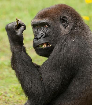 Port Lympne Reserve : Western Lowland Gorilla