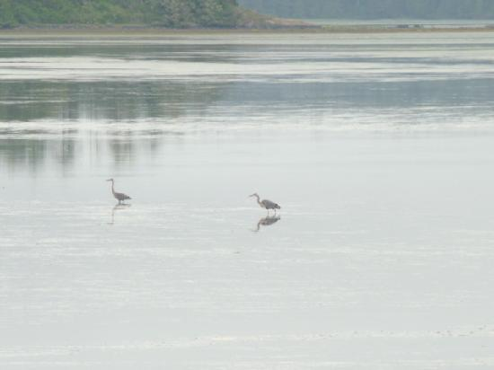 Red Crow Guesthouse: Herons at low tide from the Red Crow