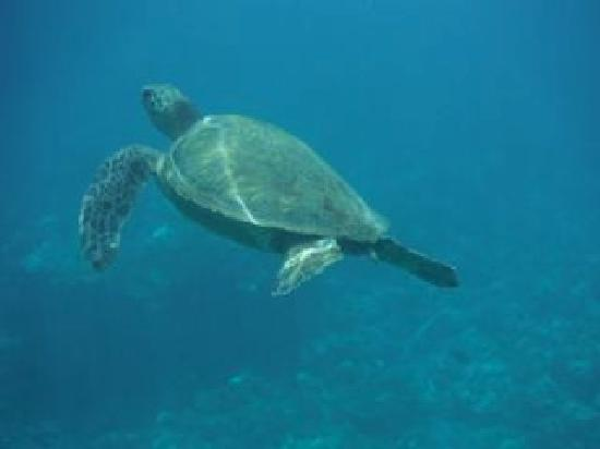Quicksilver Maui Snorkeling Charters: Resident at Turtle Town