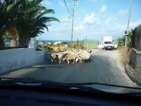 AKS Annabelle Beach Resort: Be prepared for sheep on the road