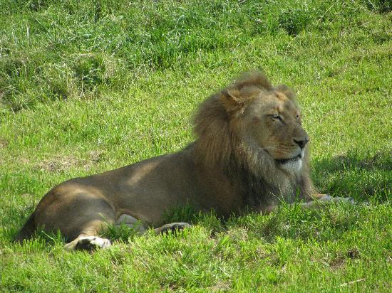 Fort Wayne, IN: Bill the Lion