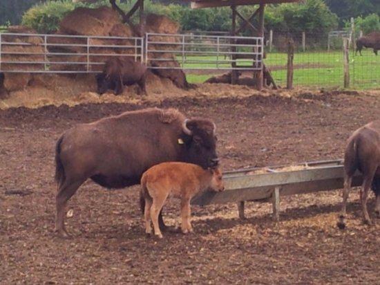 Muchedent, Frankreich: Bisons