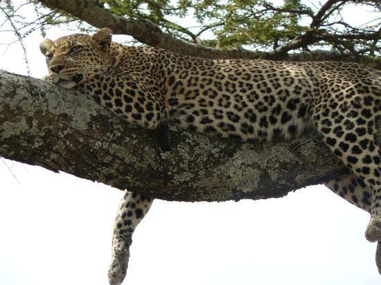 Seronera: Leopard in Serengeti