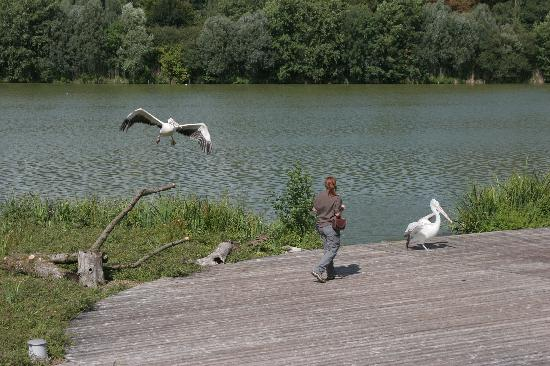 Villars-les-Dombes, Франция: Pelican show across the lake