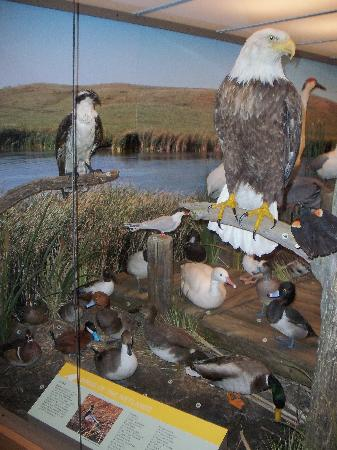 North Dakota Heritage Center & State Museum: One of the many displays in the newer Birds of North Dakota exhibit.