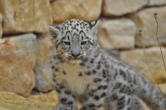 Atherstone, UK: Snow Leopard Cub