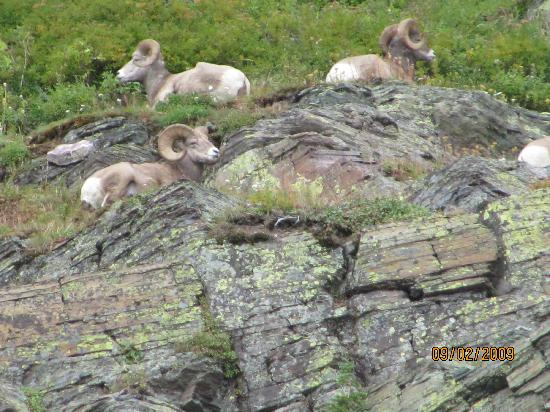 Grinnell Glacier: Big Horn Rams on hike to Grinnell