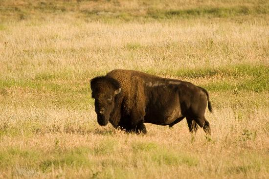Small Buffalo Herd On Property Picture Of Fort Robinson