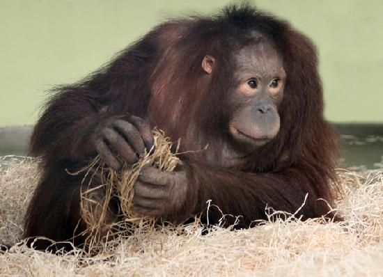 Wareham, UK : Joly in the orang-utan nursery