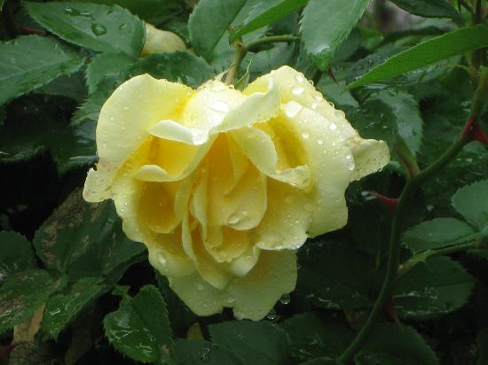 Eureka Springs, Αρκάνσας: Yellow Rose