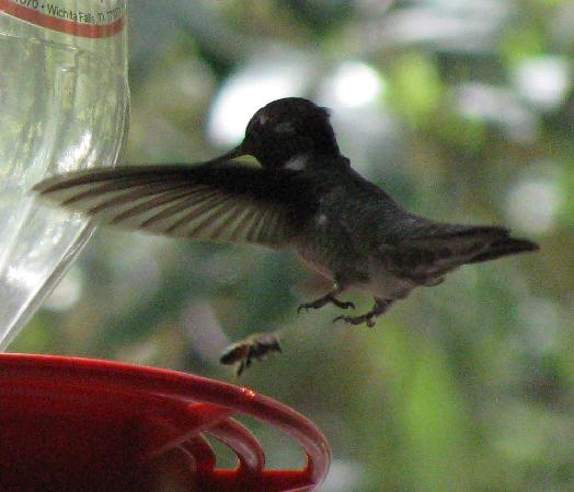 Ramsey Canyon Inn Bed and Breakfast: Black-chinned hummingbird, taken from the porch