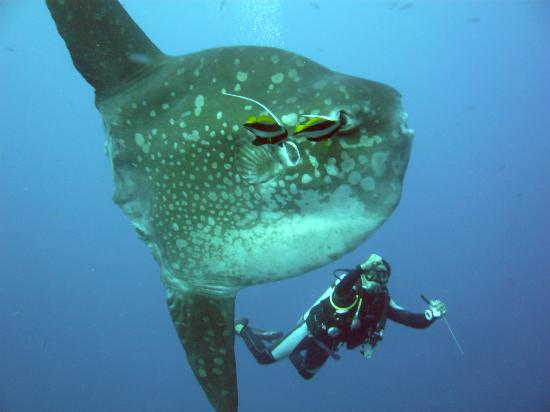 World Diving Lembongan: Mola mola