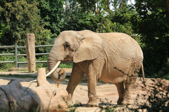 Zoo Basel: gentle giant - an elephant at the Basel Zoo
