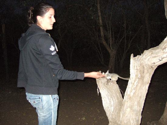 Marloth Park, África do Sul: bushbabies