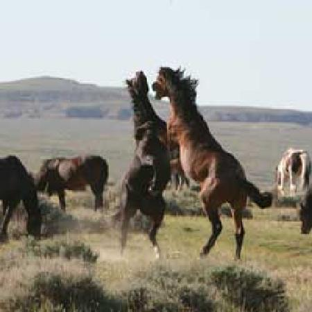 ‪‪Cody‬, ‪Wyoming‬: A stallion challenge - Wild Mustangs close to Cody, Wyoming‬