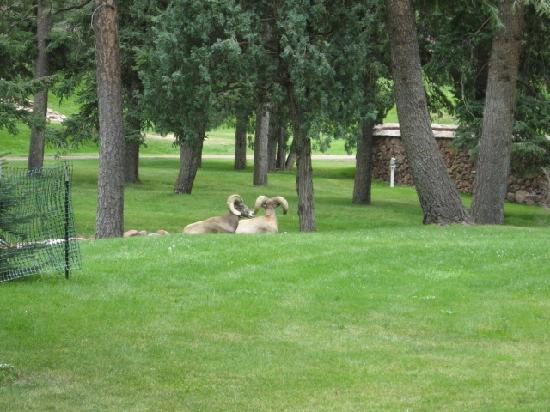 Glen Eyrie Castle: Big horn sheep on the grounds