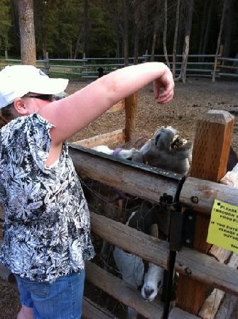 Whitefish KOA : Feeding Jake & Jenny the donkeys