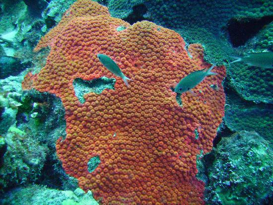 Tropical Divers: Coral