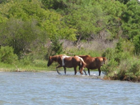 Daisey's Island Cruises: The ponies were running across the water!!