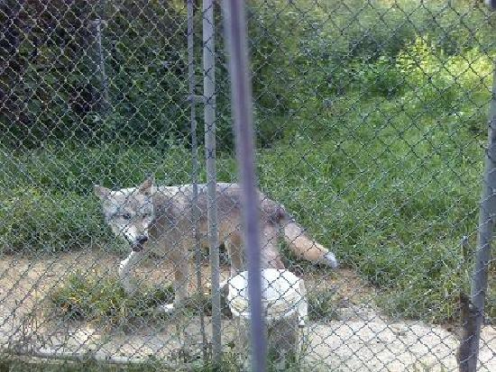 Wolf Sanctuary of PA: Wolf