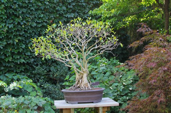 Greater Des Moines Botanical Garden: Bonsai Tree