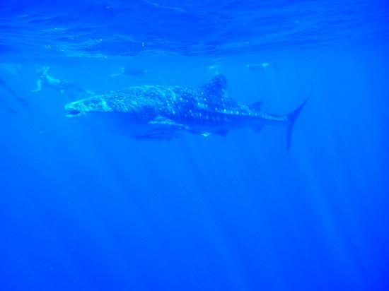Ningaloo Reef Dreaming: Snorkelling with the Whale Shark