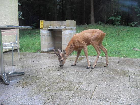 Center Parcs Longleat Forest: deer polishing off our barbeque
