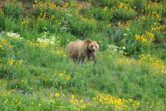 Canyon Lodge and Cabins: Grizzly bear spotted at Dunraven Pass which is a 10 minute drive north of Canyon Lodge